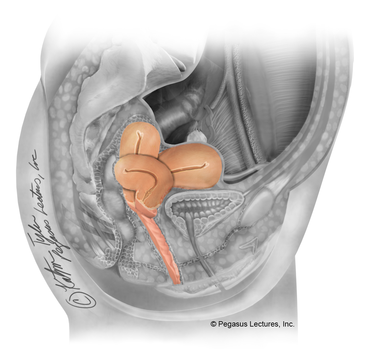 uterusallpositions_option1